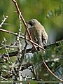 Lesser Whitethroat (Sylvia curruca) (23725317782).jpg