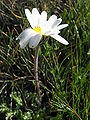 Leucanthemopsis alpina08.jpg