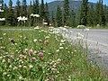 Leucanthemum vulgare (8043531366).jpg