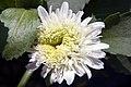 Leucanthemum x superbum Esther Reed 1zz.jpg