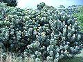 Leucoseprmum conocarpodendron subsp. conocarpodendron bush.JPG