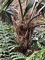 Leucothrinax morrisii at Mounts Botanical Garden 01.jpg