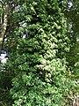 Lierre étouffant un chêne.jpg