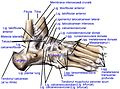 Ligaments of the lateral aspect of the foot.ro.jpg