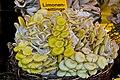 Limonenseitlinge (Pleurotus citrinopileatus) - 20100919-02.jpg