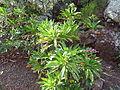 Limonium dendroides (Jardín Botánico Canario Viera y Clavijo).jpg