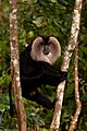 Lion-tailed Macaque Ganesh Raghunathan LTM3.jpg