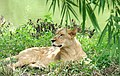 Lioness at Bannerghatta (3833679318).jpg