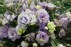 Lisianthus aka Eustoma from Lalbagh Garden, Ba...