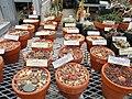 Lithops specimens - University of California Botanical Garden - DSC08858.JPG