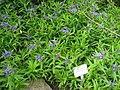 Lithospermum purpureo-coeruleum - Berlin Botanical Garden - IMG 8512.JPG