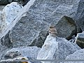 Little Owl (Athene noctua) (42276491645).jpg
