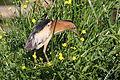Little bittern, Ixobrychus minutus - - at Rietvlei Nature Reserve, Gauteng, South Africa (22094328830).jpg