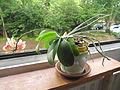 Little orchid D1106.jpg