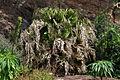 Livistona chinensis Brest.jpg