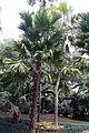 Livistona rotundifolia 7zz.jpg