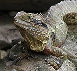 Lizard 5 (30425548004).jpg
