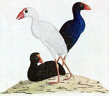 Three swamphens: one black, one dark-blue and one white