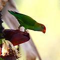 Loriculus beryllinus -Sinharaja Forest Reserve, Sri Lanka -adult-8-3c.jpg