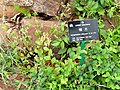 Loropetalum chinense - Kunming Botanical Garden - DSC03179.JPG