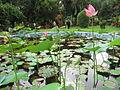 Lotus - താമര 07.JPG