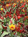 Luisenpark tulipoj kaj ĝardenaj violoj.jpg