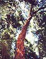 Luma apiculata2.jpg