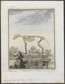 Lupus orientalis - skelet - 1700-1880 - Print - Iconographia Zoologica - Special Collections University of Amsterdam - UBA01 IZ22200375.tif