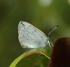 Lycaena epixanthe - Saint-Narcisse-de-Rimouski, Québec