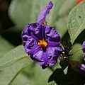 Lycianthes rantonnetii-Arbre à gentiane-201607044.jpg