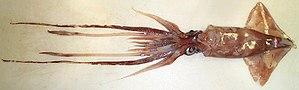 Lycoteuthis lorigera - Image: Lycoteuthis lorigera male