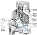 Lymphatics of the prostate-Gray619-ar.png