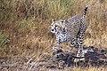 Mãe guepardo e filhote.jpg