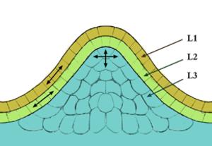 Meristem - Image: Méristème couches