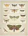 MA I437904 TePapa Plate-XLIII-The-butterflies full.jpg