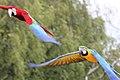 Macaw - Woburn Safari Park (4554960801).jpg