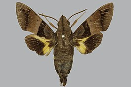 Macroglossum stigma BMNHE813475 male up.jpg