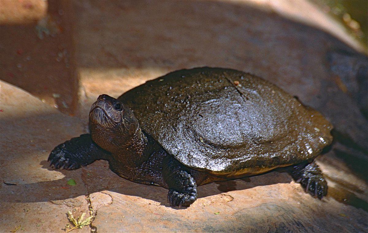 Madagascan Big Headed Turtle Wikipedia