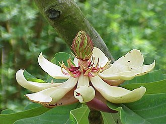 Magnoliids - Flower of Magnolia obovata, showing multiple petals, stamens, and pistils.