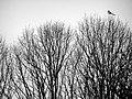 Magpie in a tree, Germany (368690257).jpg