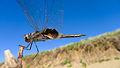 Male Common Glider underwing (17068660737).jpg