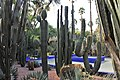 Malpighiales - Euphorbia ingens 6.jpg