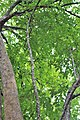 Malpighiales - Garcinia lanessanii - 3.jpg