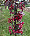 Malus x purpurea Royalty a2.JPG