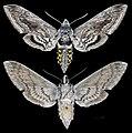 Manduca quinquemaculata MHNT CUT 2010 0 116 Sorel-Tracy Quebec Canada female.jpg