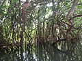 Mangrove forests of kerala.jpg