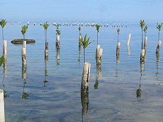 Isla de Ratones (Cabo Rojo, Puerto Rico) - PVC tubes help spur mangrove growth on Isla de Ratones, 2006