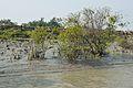 Mangroves - Riverbank Ichamati - Taki - North 24 Parganas 2015-01-13 4461.JPG