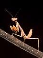 Mantis nymph Kaldari 01.jpg