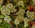 Marchantia polymorpha male.jpg